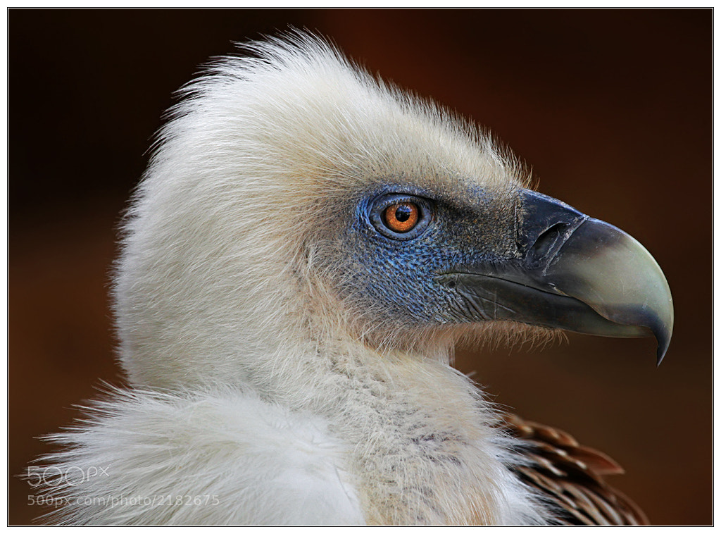 Photograph Vulture Portrait by Klaus Wiese on 500px
