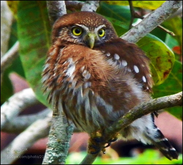 Photograph  A owl in my backyard!  by Beto Simões on 500px