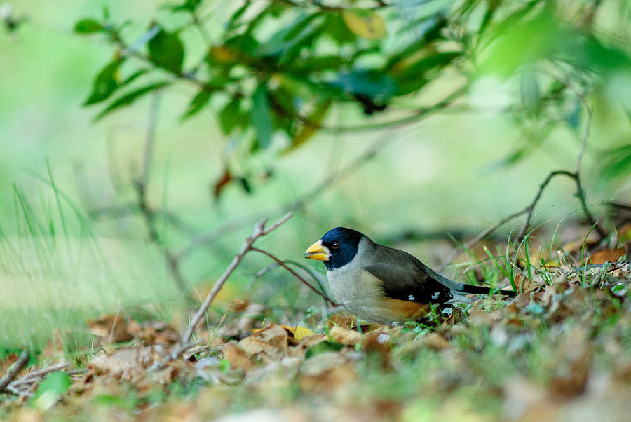 Photograph Chinese Grosbeak by Yuji Nishimura on 500px