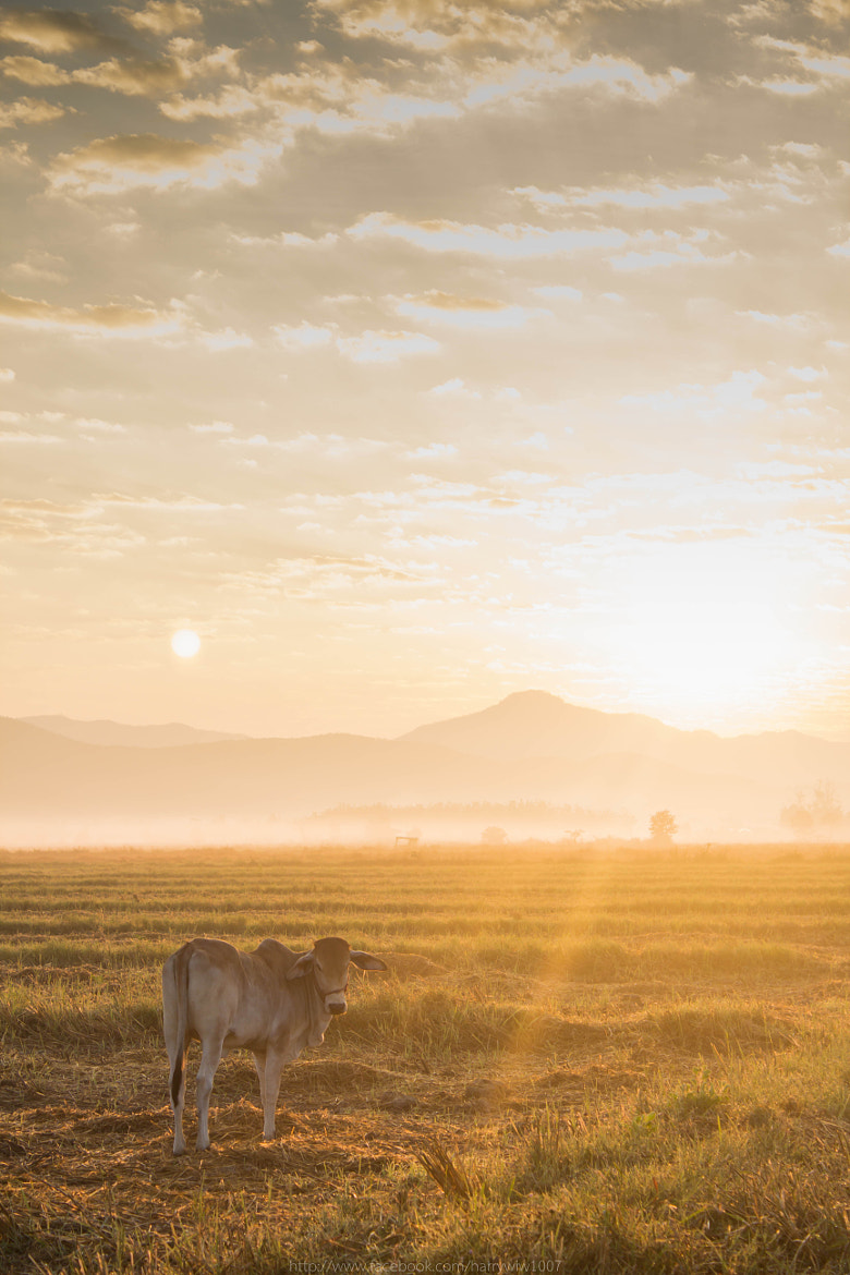 Photograph COW 2 by Eakkapon Wipobpat on 500px