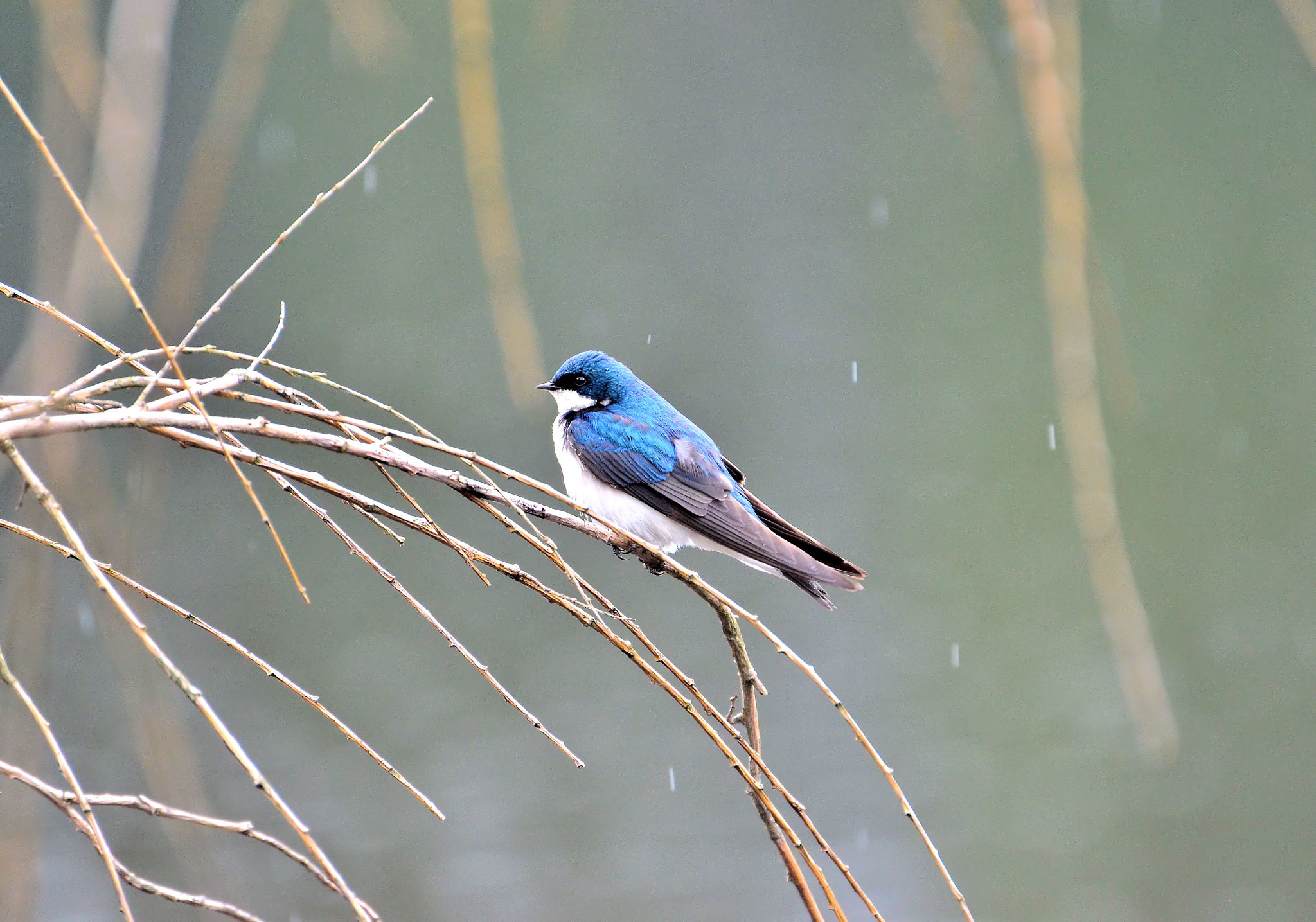 Photograph Male Tree Swallow by Valerie Sauve on 500px