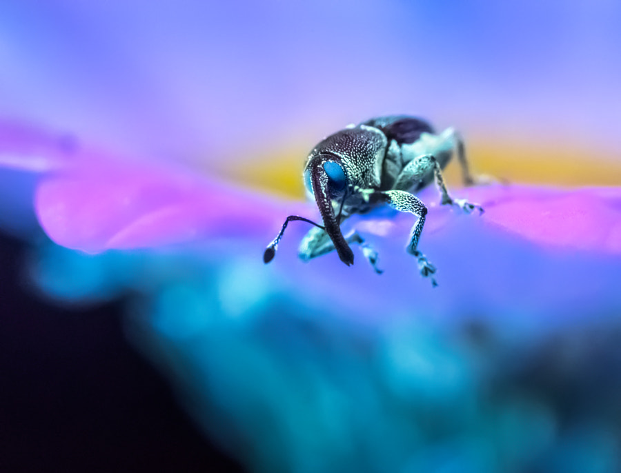 Weevil in Wonderland by Don Komarechka on 500px.com