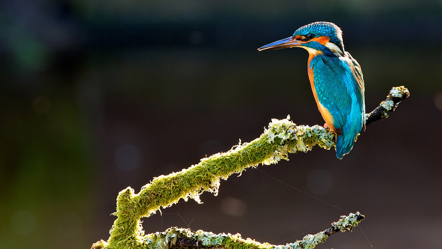 kingfisher and the cobwebs by Mark Bridger on 500px.com