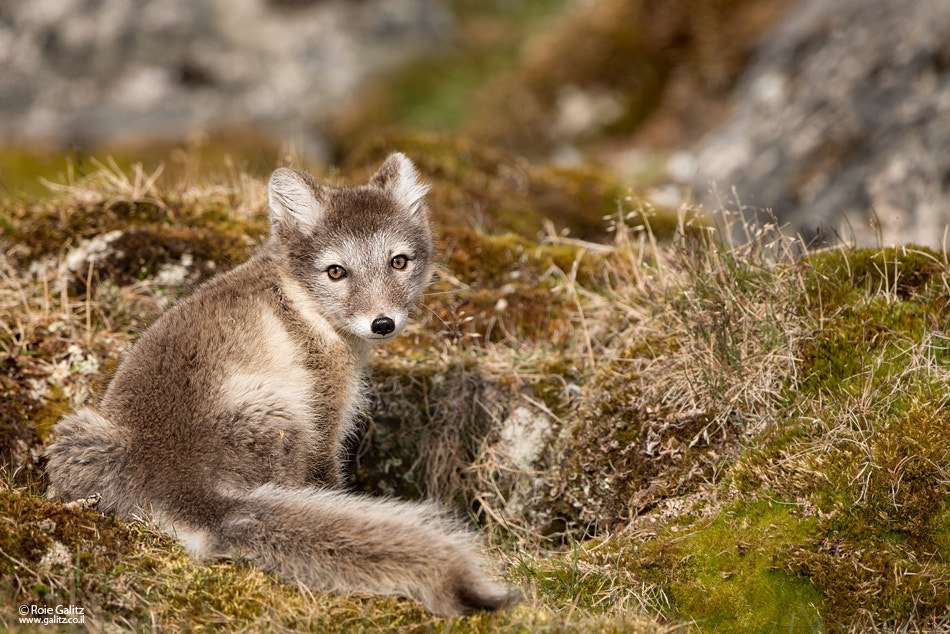 Photograph Foxy Lady by Roie Galitz on 500px
