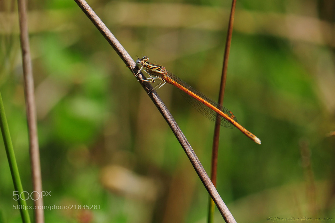 Photograph dragonfly by Jelpa photographie on 500px