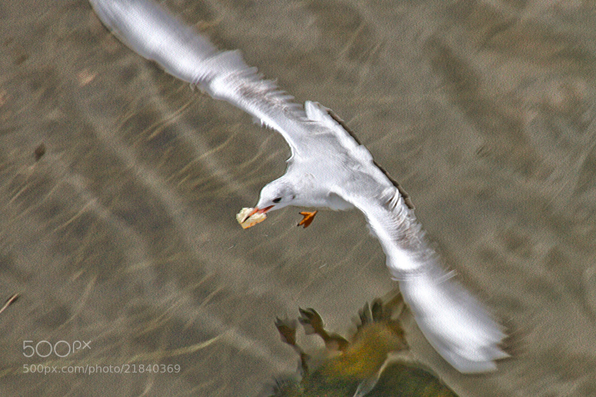 Photograph GAVIOTA AL VUELO by juan  rodrigo legua on 500px