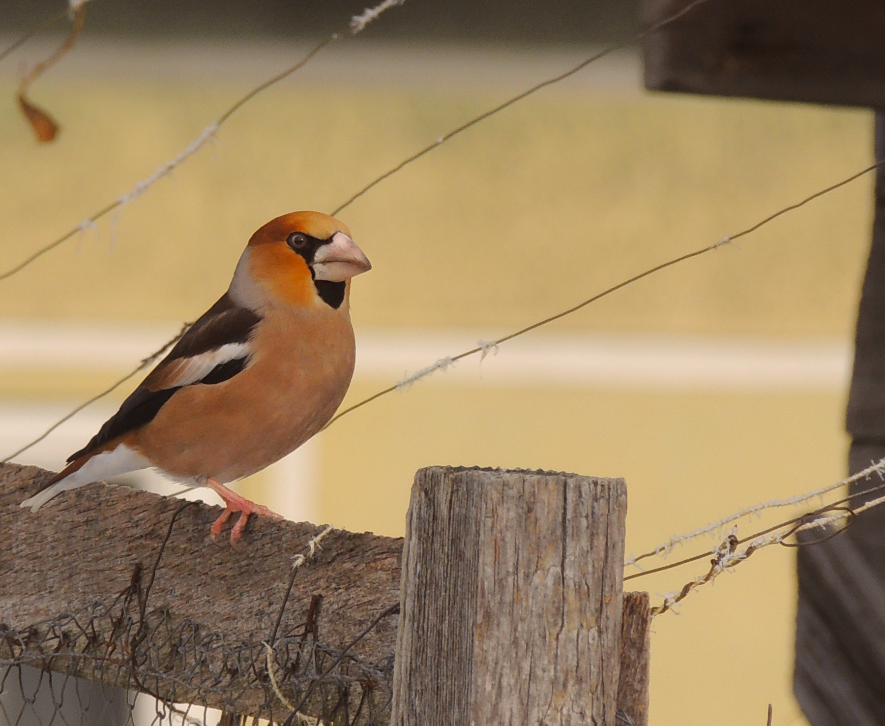 Photograph The Hawfinch by Petra Harmati on 500px
