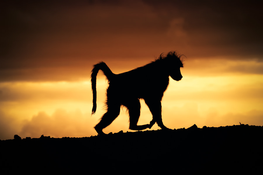 Photograph Baboon at Sunset by Mario Moreno on 500px