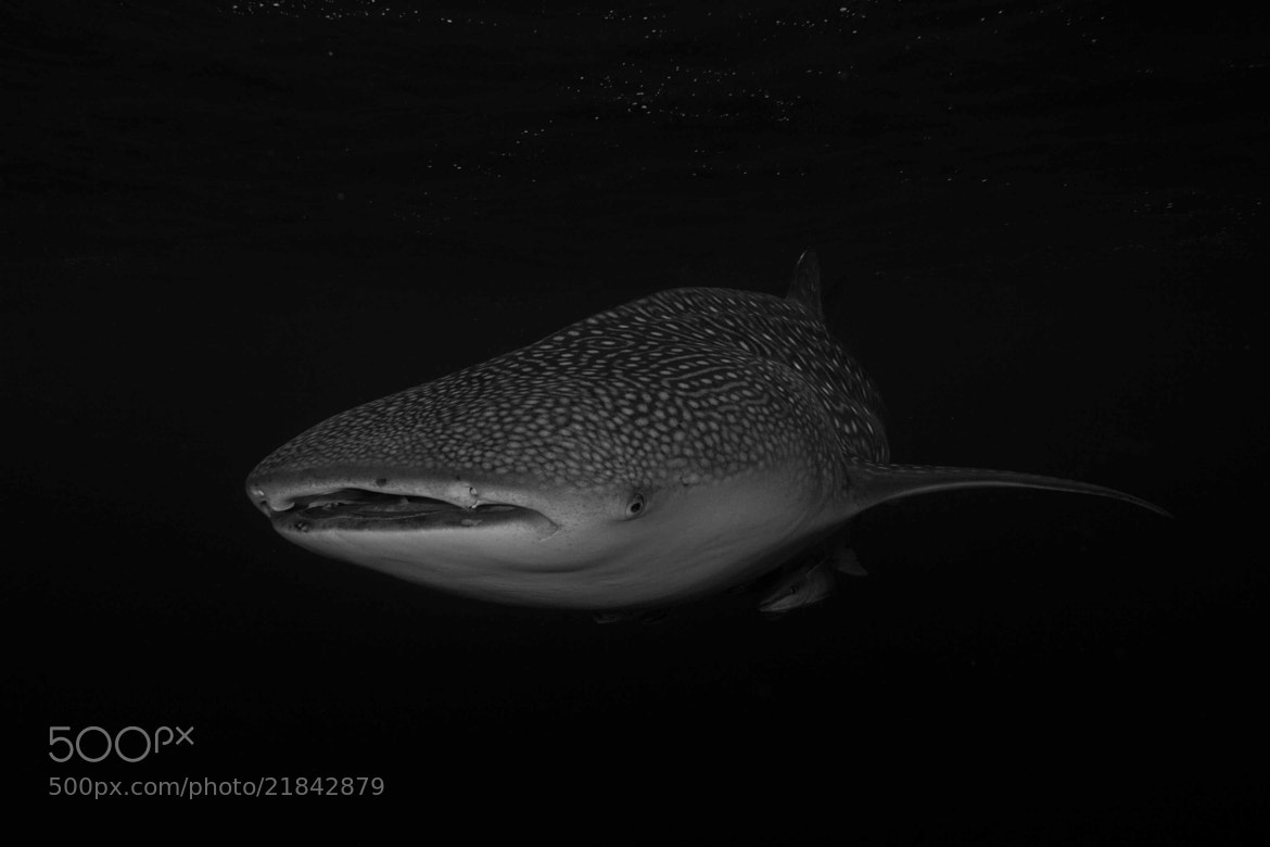 Photograph whale shark from the mysterious deep by Paul Cowell on 500px