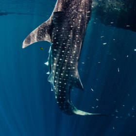 vertically feeding whale shark by Paul Cowell (PaulCowell)) on 500px.com