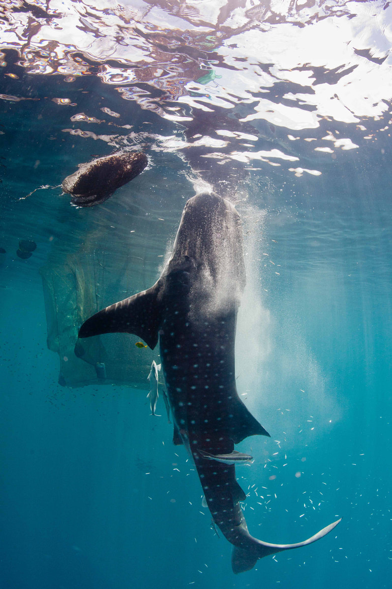 Photograph vertically feeding whale shark by Paul Cowell on 500px