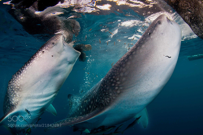 Photograph dual feeding whale shark by Paul Cowell on 500px