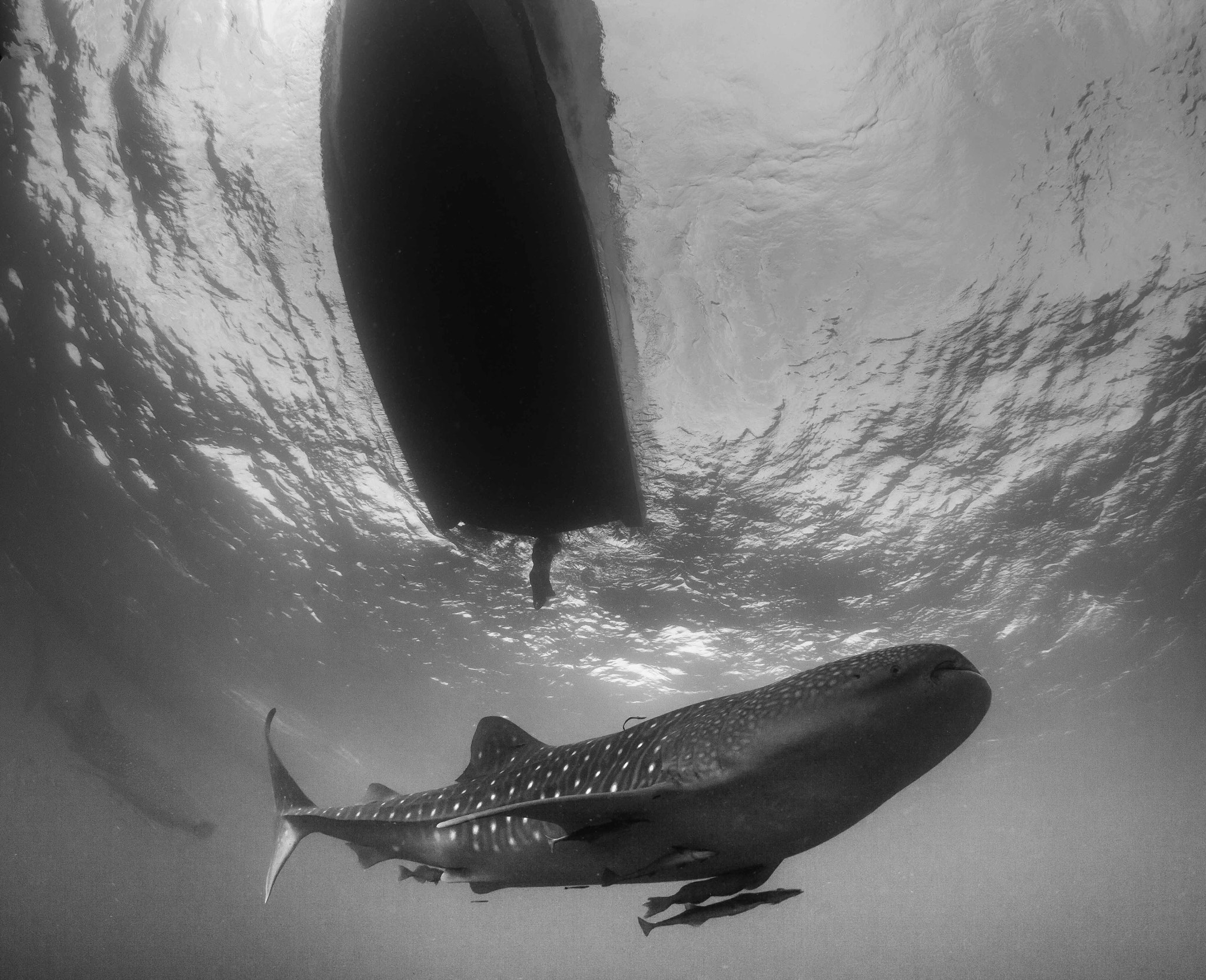 Photograph whale shark under the boat by Paul Cowell on 500px