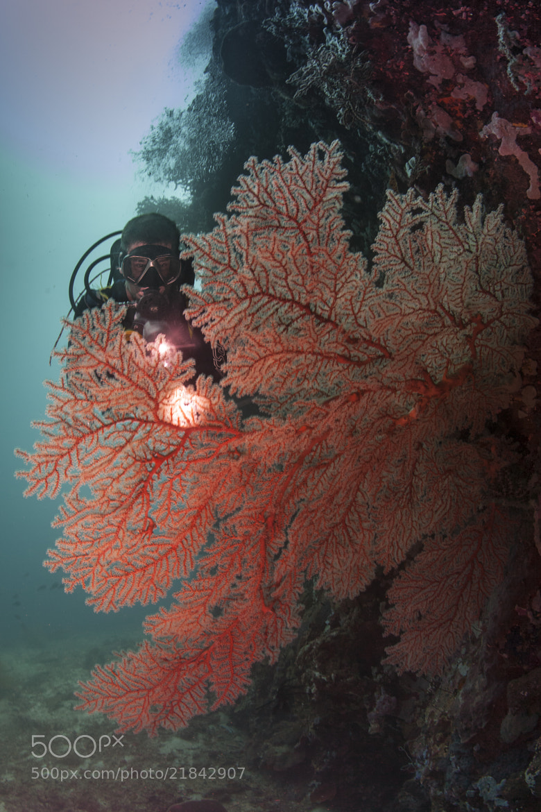 Photograph illuminated gorgonian fan by Paul Cowell on 500px
