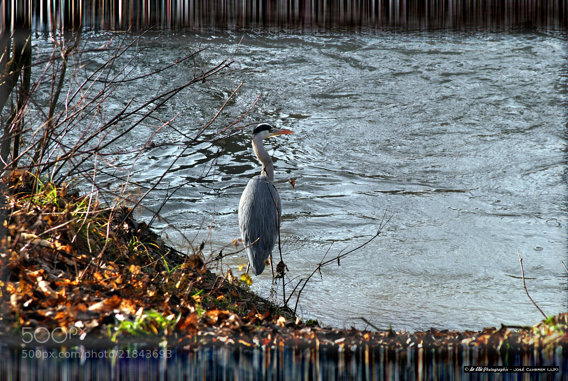 Photograph Blue Heron waiting for fish by José Cambrer on 500px