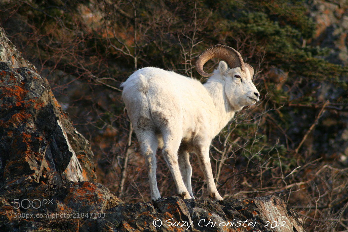 Photograph RAM by Suzy Chronister on 500px