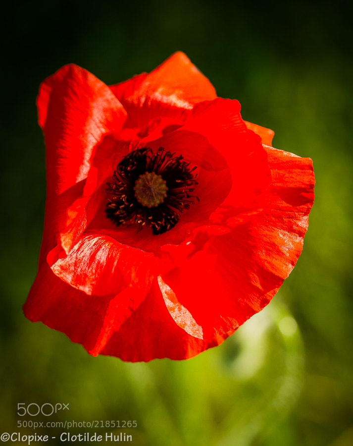 Photograph red poppy by Clotilde Hulin on 500px
