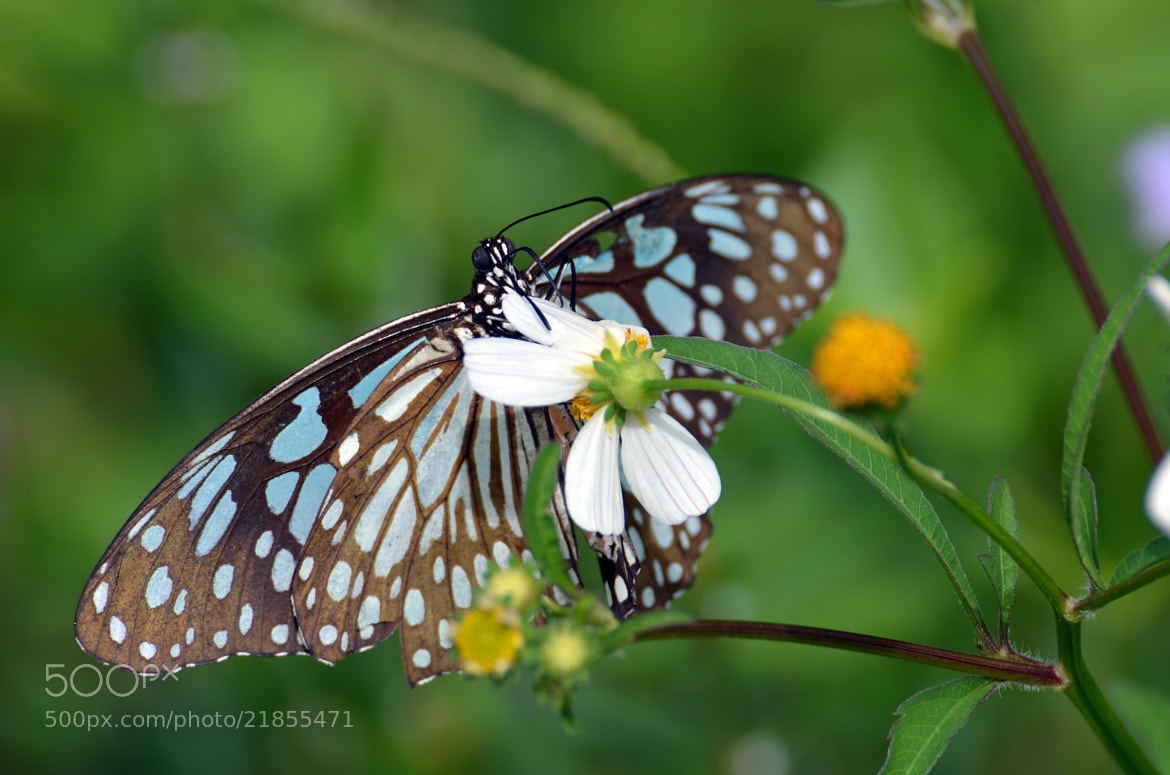 Photograph Butterfly by Sebastian Fast on 500px