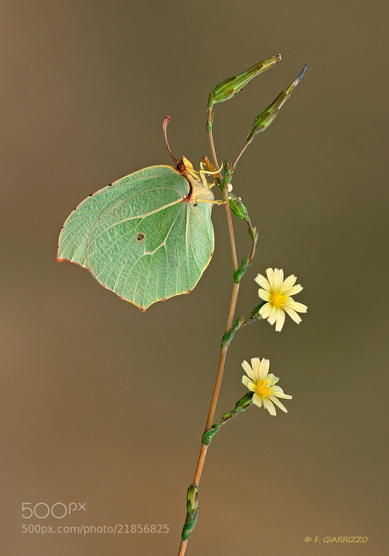 Photograph Brimstone by Fabio Giarrizzo on 500px