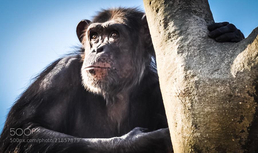 I think chimpanzees pray.