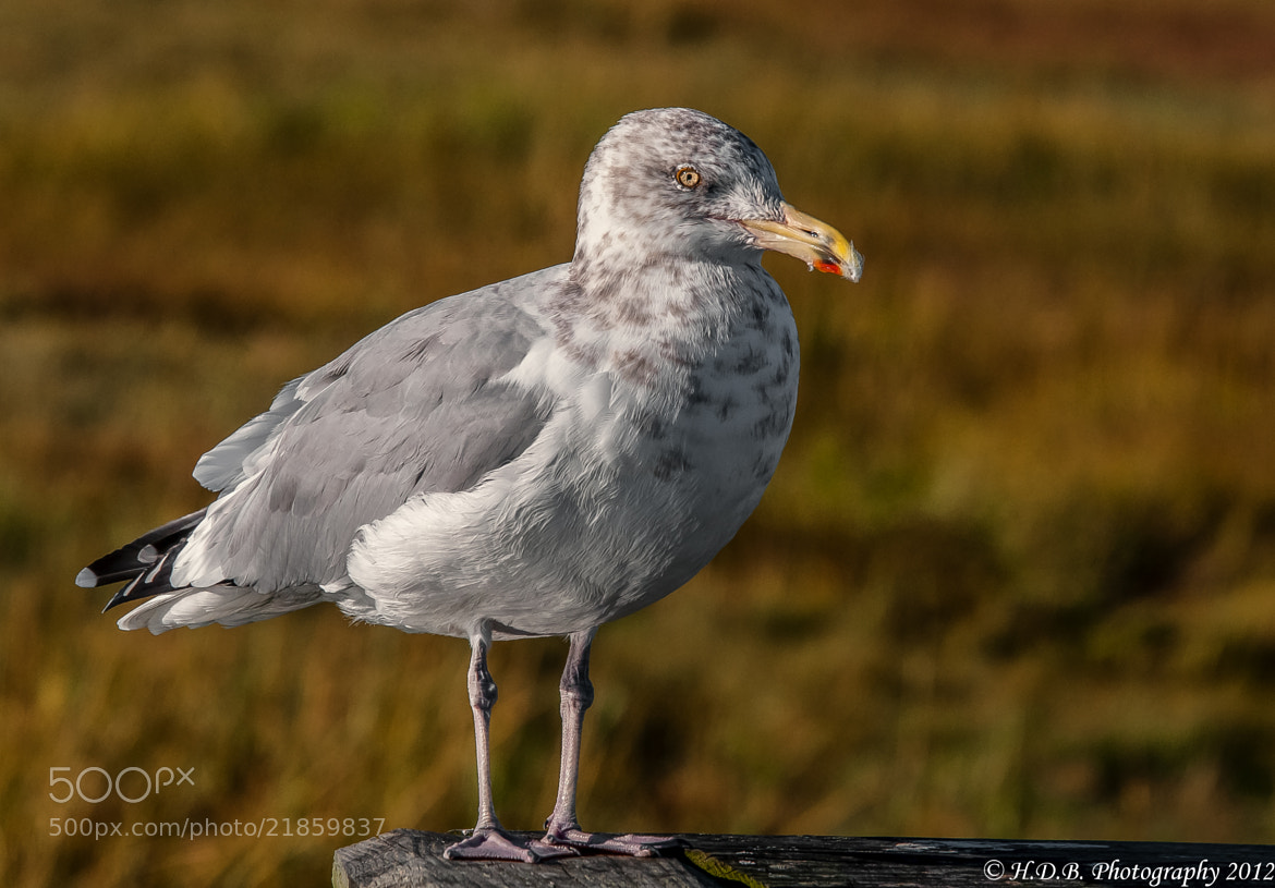 Photograph Just A Lonely Gull by Harold Begun on 500px
