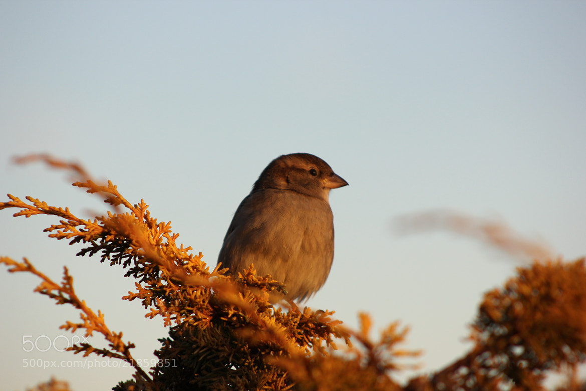 Photograph Sparrow at sunset by Komal S on 500px