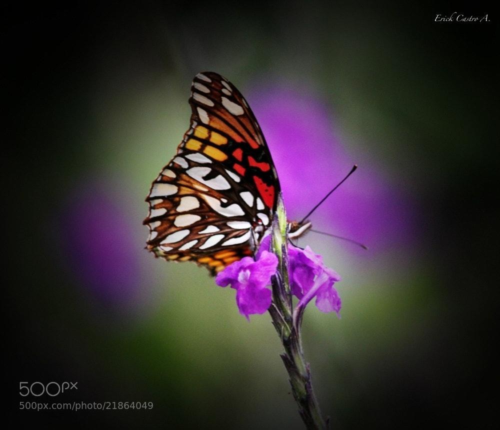 Photograph Mariposa tomando su alimento by Erick Castro Alvarado on 500px