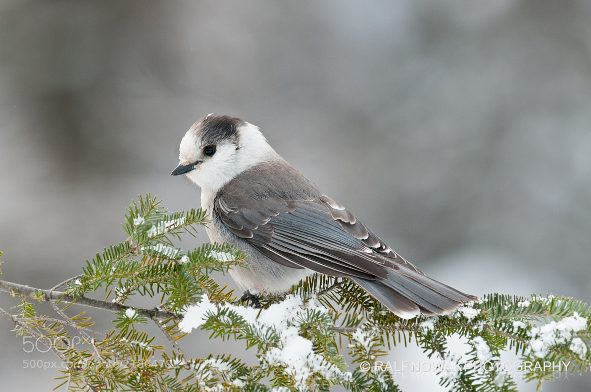 Photograph Gray Jay by Ralf Nowak on 500px