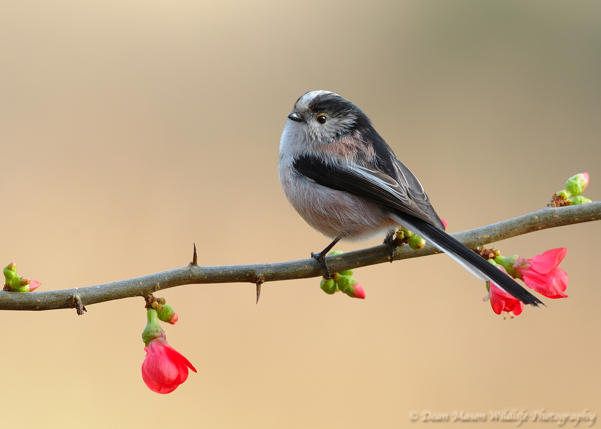 Photograph Long Tailed Tit on Japanese Quince by Dean Mason on 500px