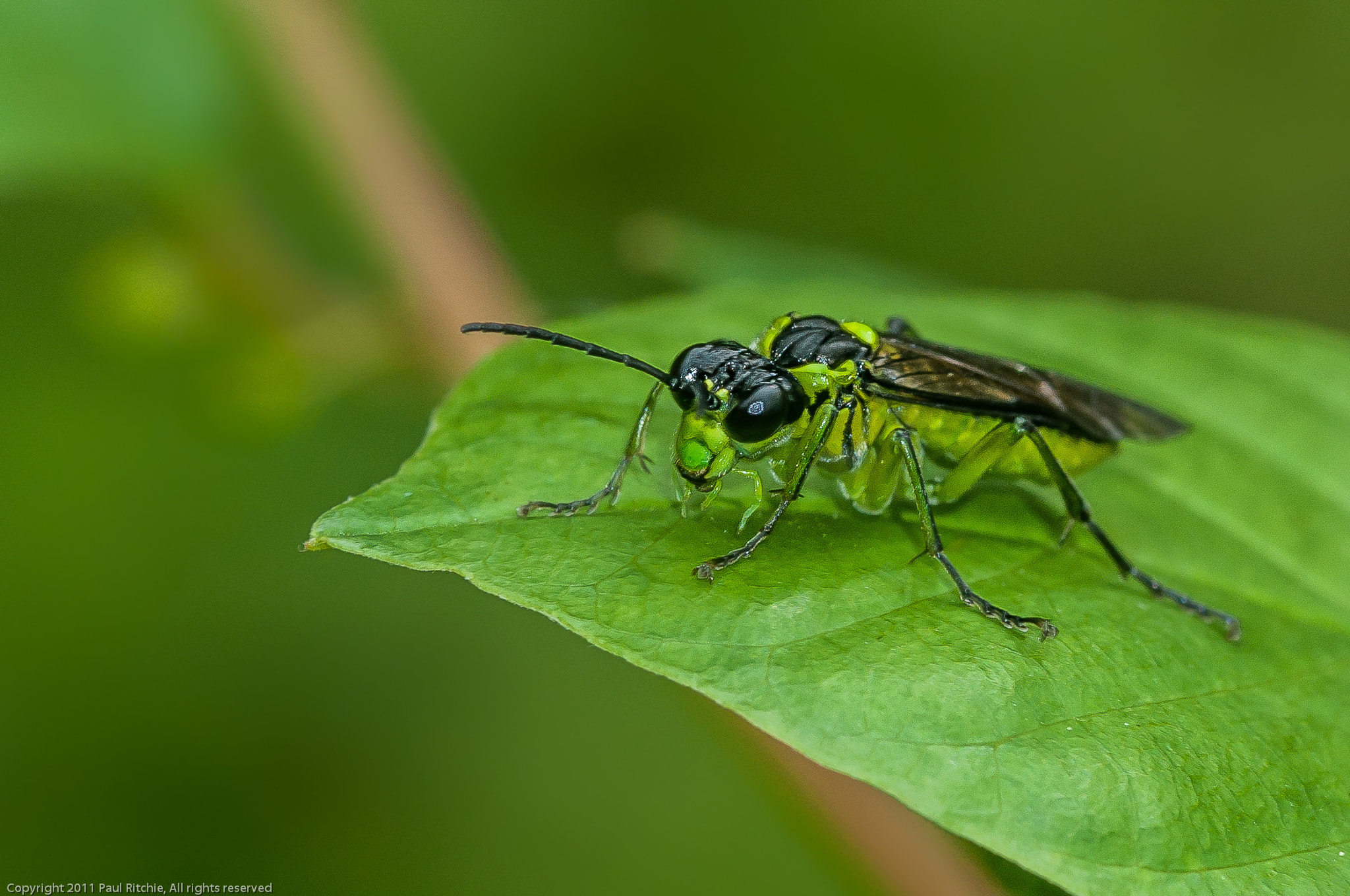 Photograph Green-legged Sawfly (Tenthredo mesomelas) by Paul Ritchie on 500px