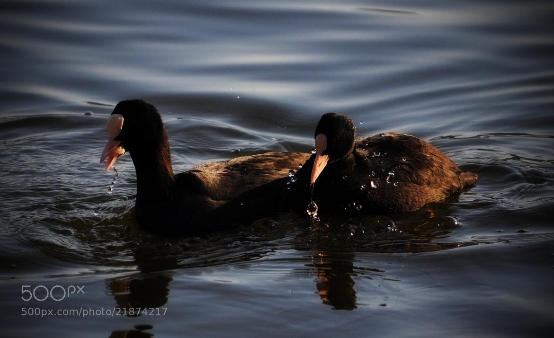 Photograph Ducks by Olivia Dodon on 500px