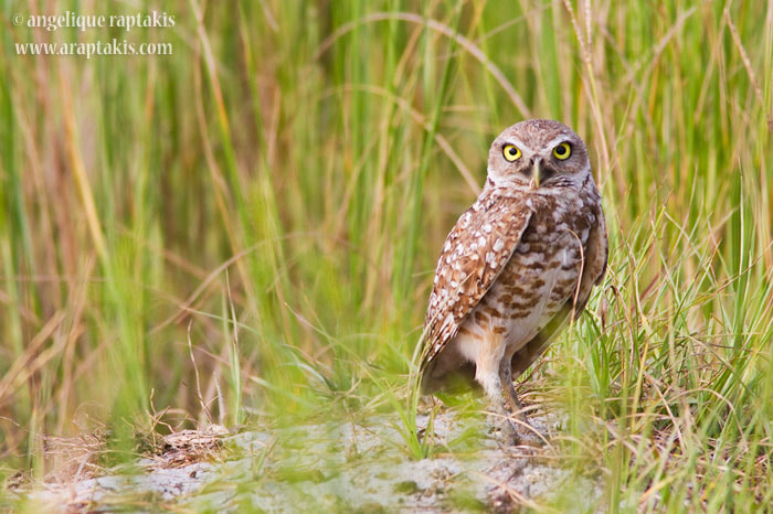 Photograph Burrowing Owl by angelique raptakis on 500px