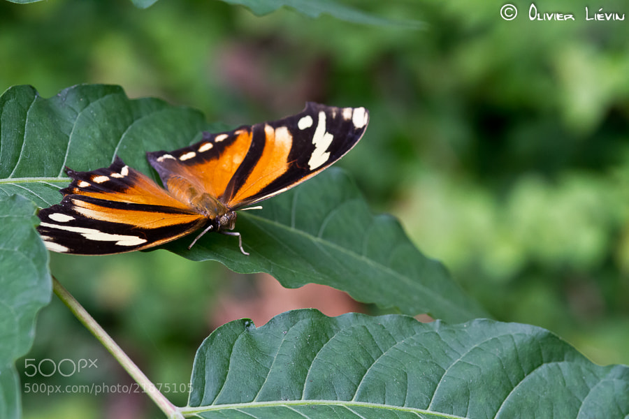 Photograph Butterfly by Olivier Liévin on 500px