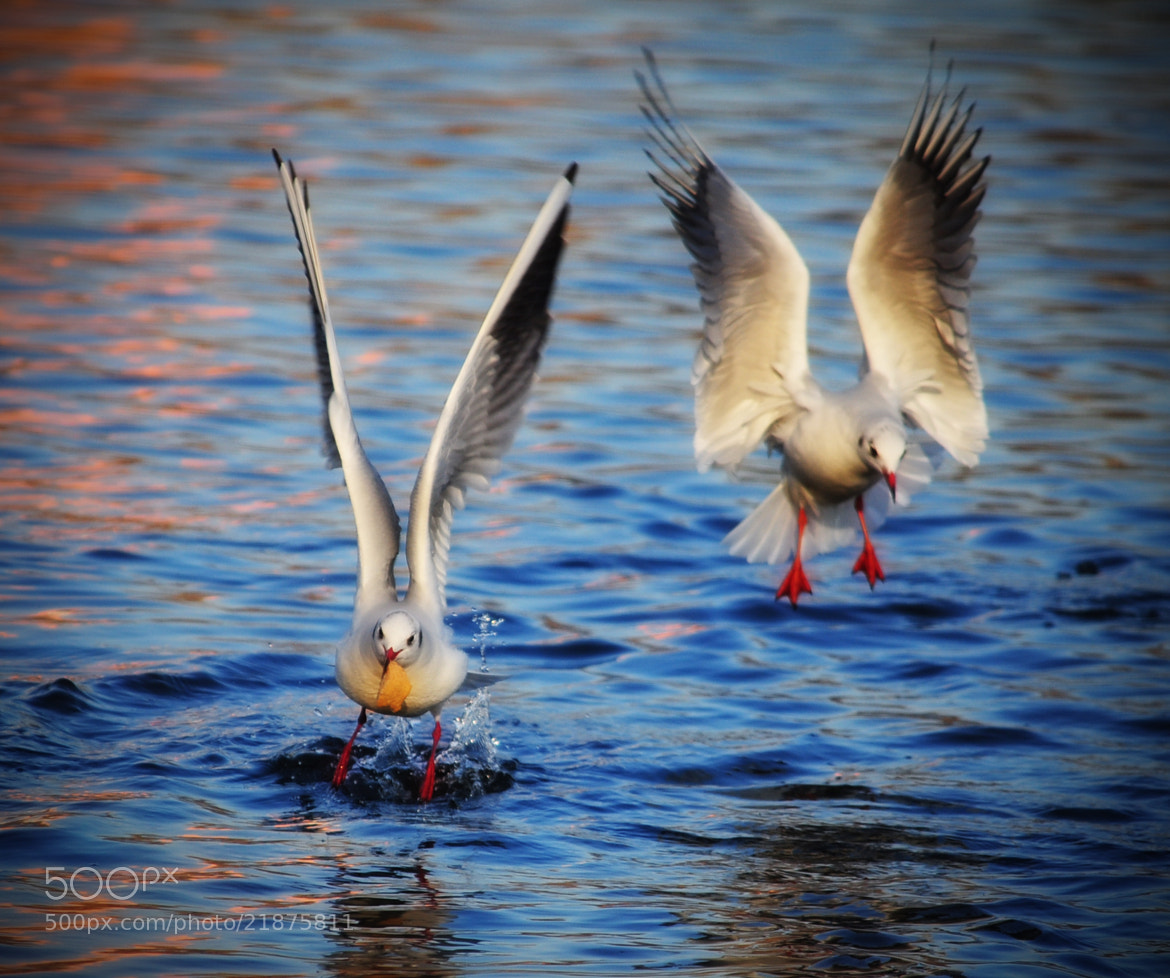 Photograph Fight for food by Olivia Dodon on 500px