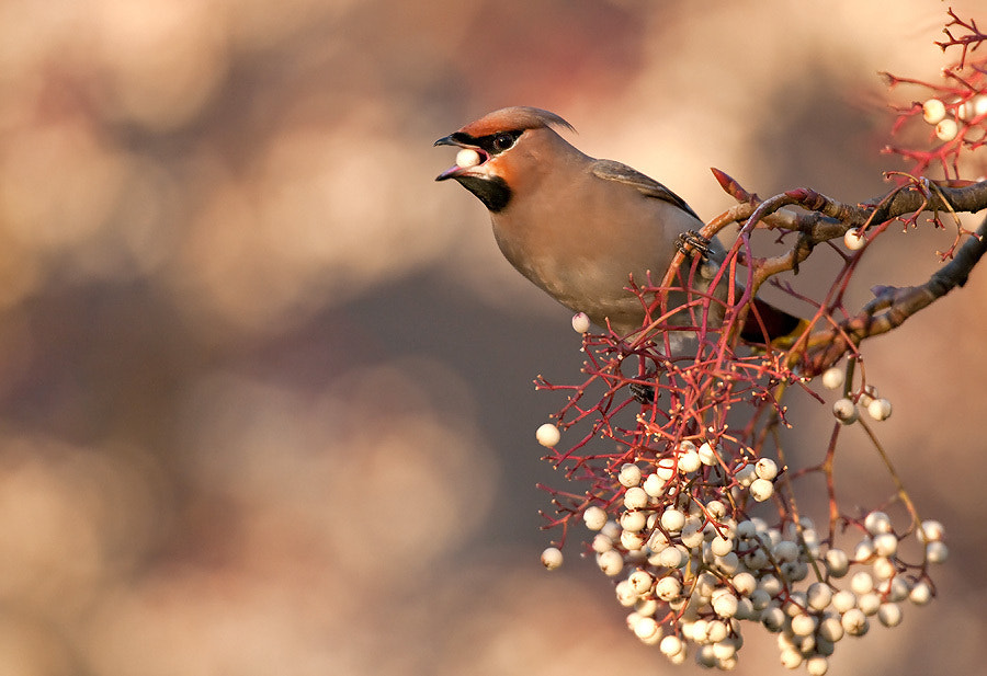 Photograph Waxwing by Oscar Dewhurst on 500px
