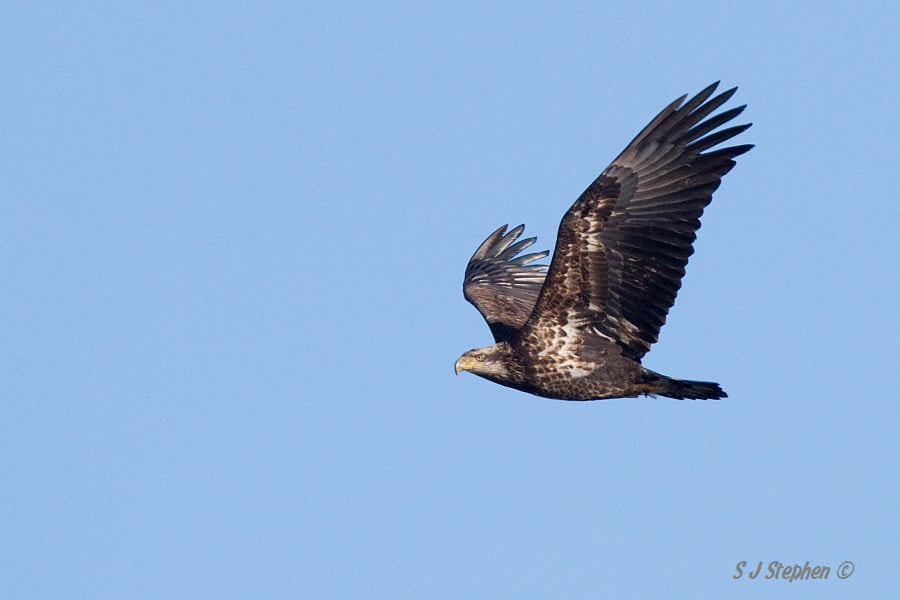 Photograph Juvenile Bald Eagle by Stephen Stephen on 500px