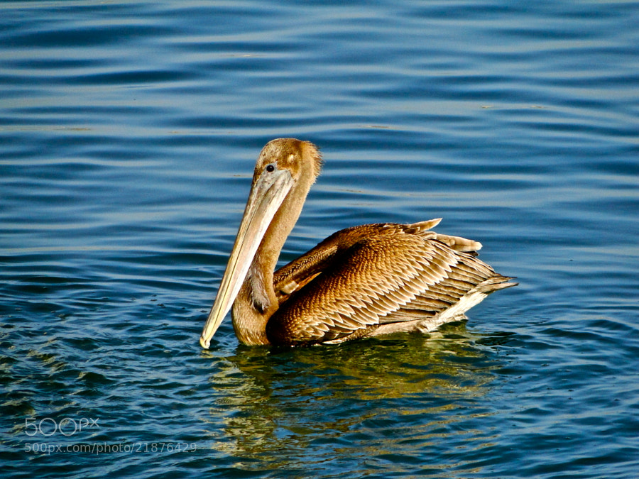 Photograph pelican by Too Awful :) on 500px