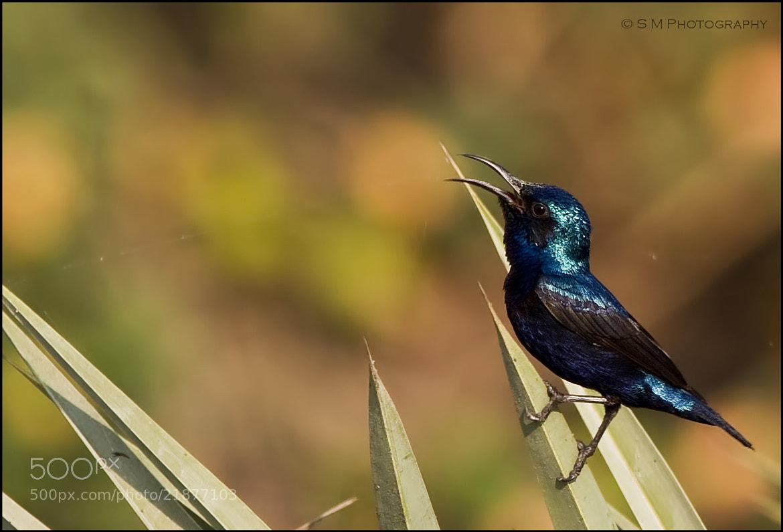 Photograph Purple Sunbird by Santosh Mulik on 500px