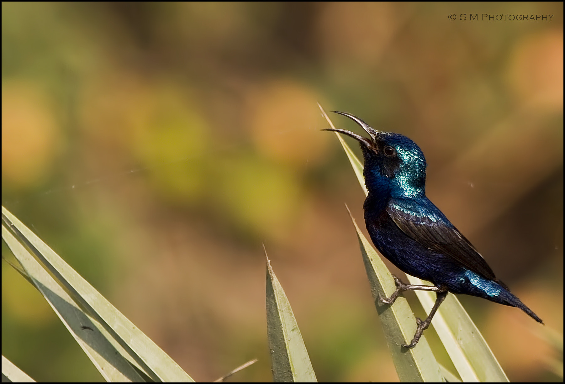 Photograph Purple Sunbird by Santosh Mulik on 500px