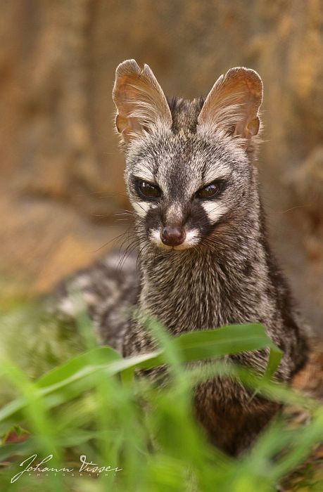Photograph SMALL-SPOTTED GENET by Johann Visser on 500px