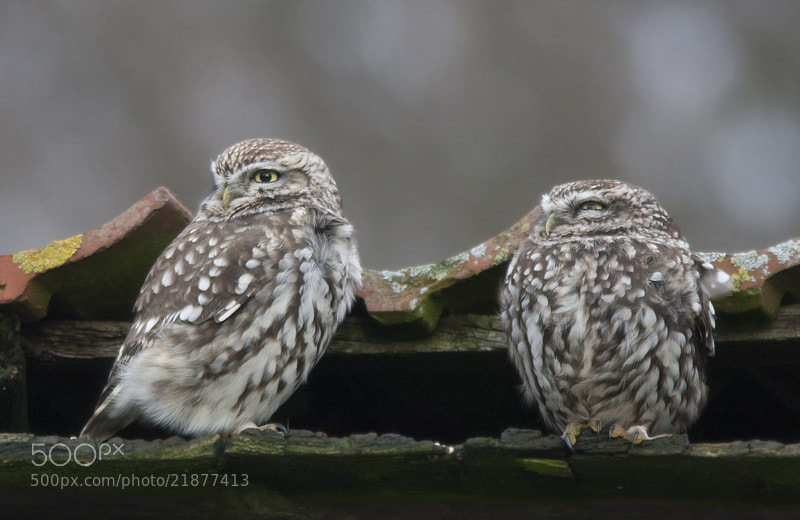 Photograph Little Owl / Steenuil by Robert Westerhof on 500px