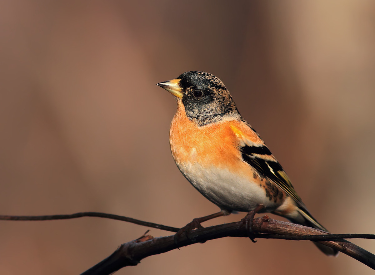 Photograph Brambling by Ivan Martini on 500px