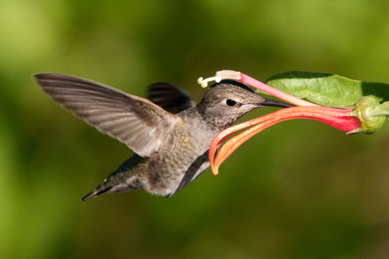 Photograph Hummer # 3 by henry wong on 500px