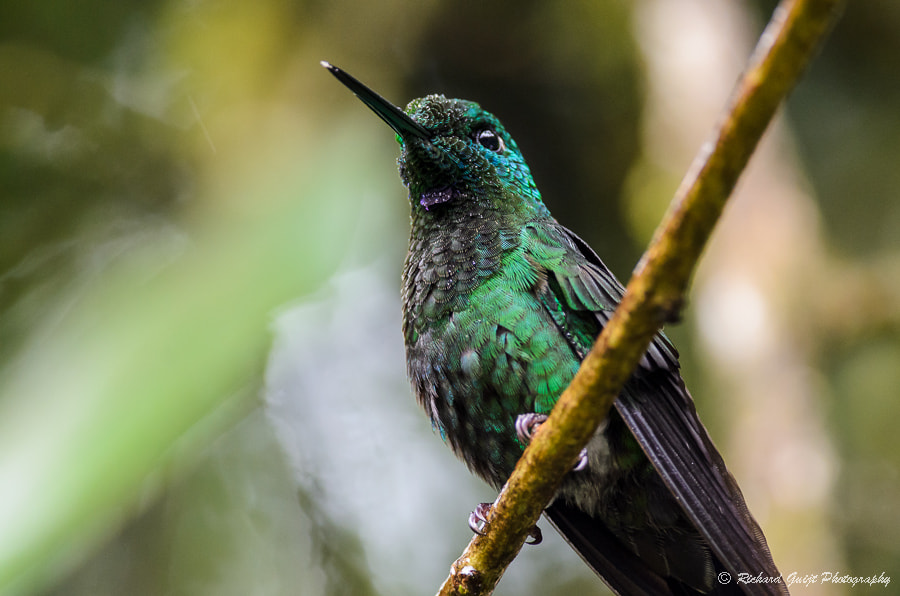 Photograph Hummingbird from underneath by Richard Guijt on 500px
