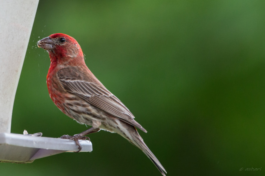 House finch by the feeder. by aishwaryaisonline on 500px.com