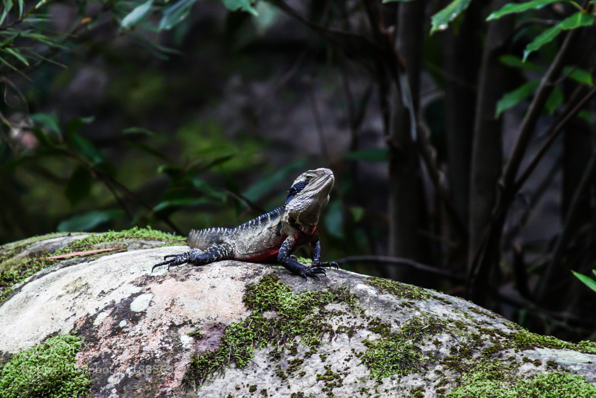 Photograph Eastern Water Dragon by Ravi Meghani on 500px