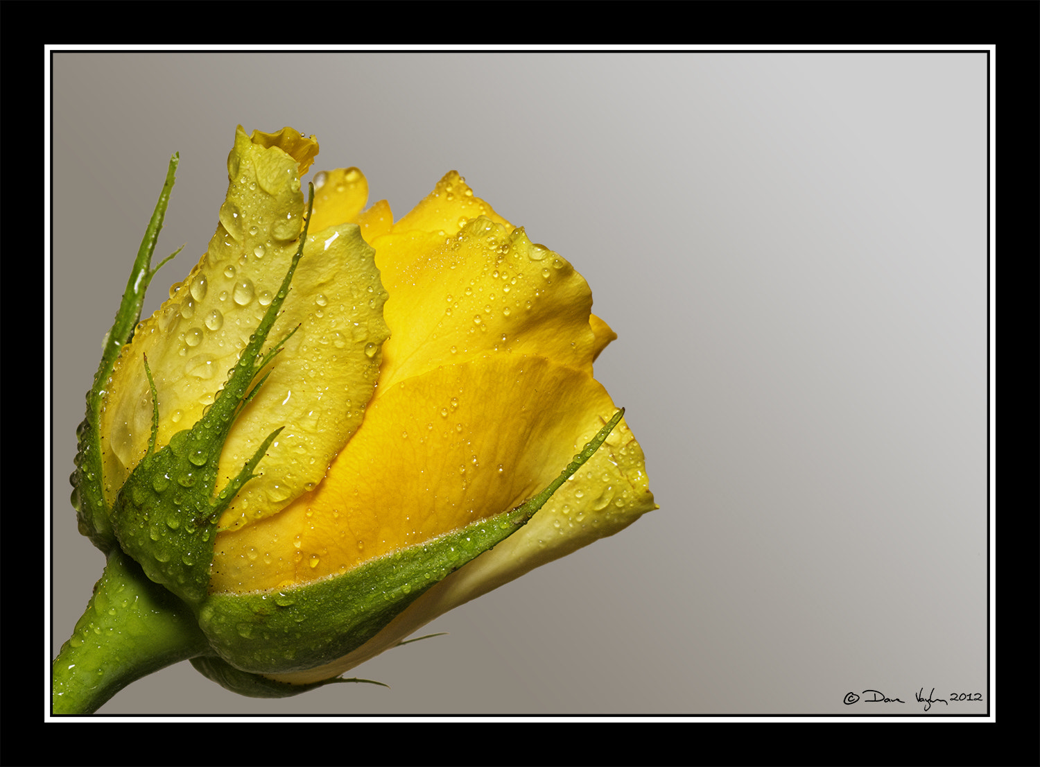 Photograph Yellow Rose Stack by David Vaughan on 500px