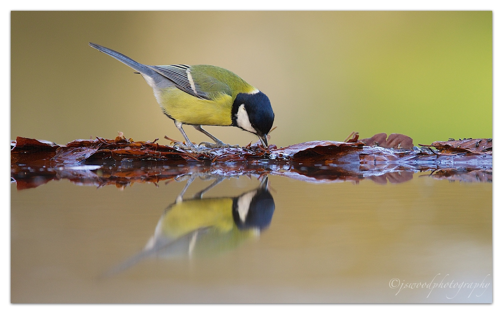 Photograph Great Tit by Jason Wood on 500px