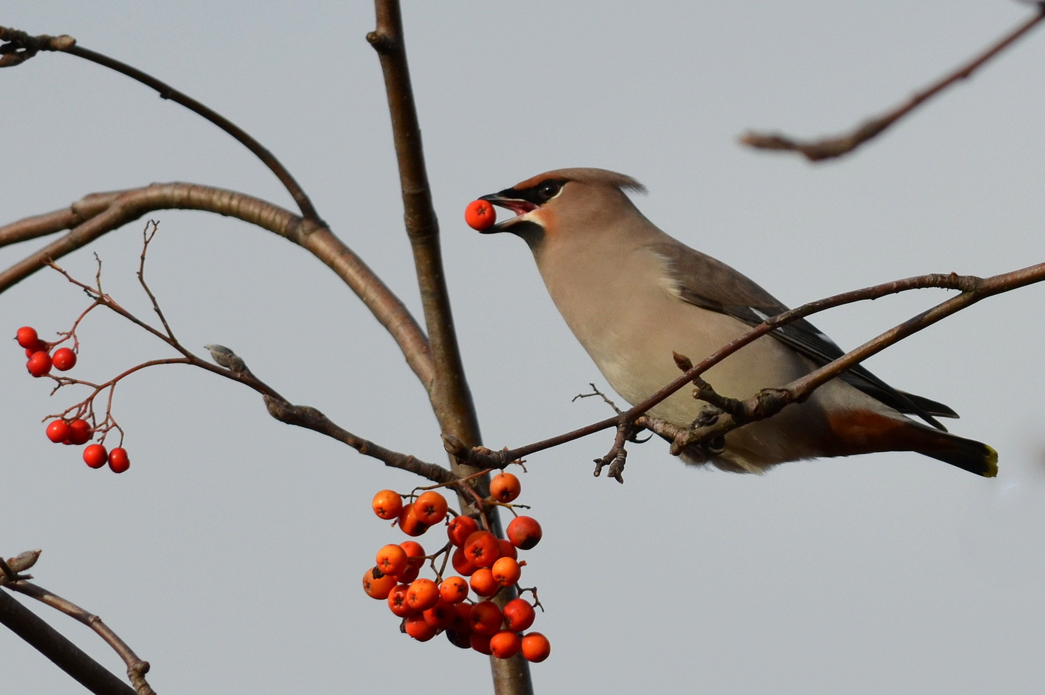 Photograph Waxwing by Ryan Clark on 500px