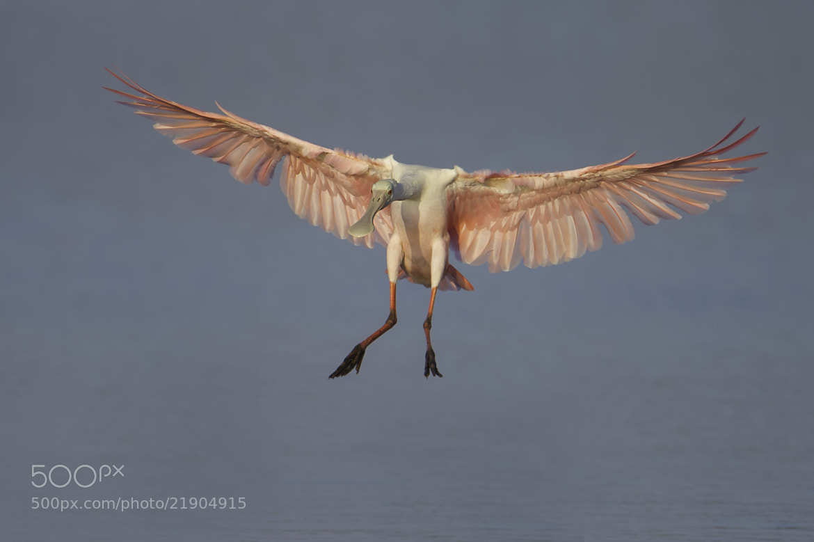 Photograph Incoming Spoonbill  by Daniel Parent on 500px